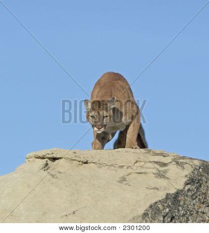 Cougar Against Blue Sky