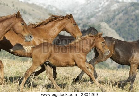 Horses Stampeding To Avoid Round-Up