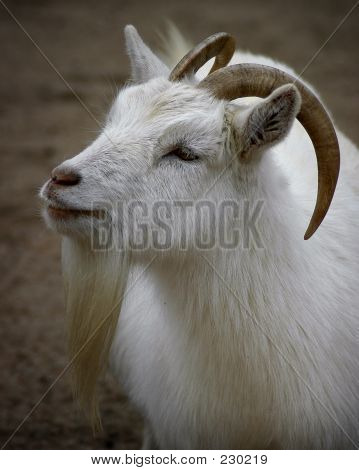 Animal Goat Farm