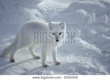 Fox-Arctic