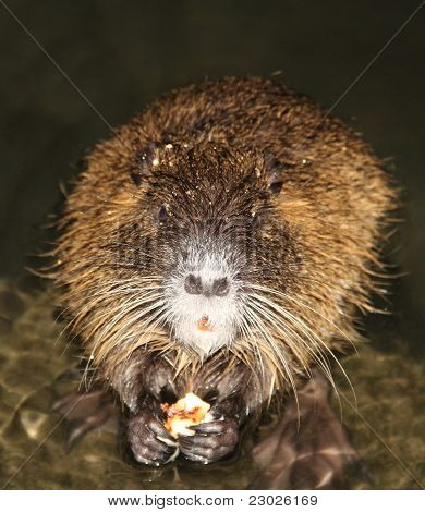 nutria eating pizza
