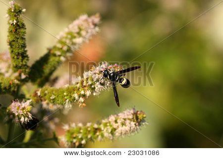 Mason or Potters Wasp
