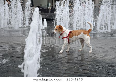 Wet Smooth Coated Parson Jack Russell Terrier Wandering Through A Fountain