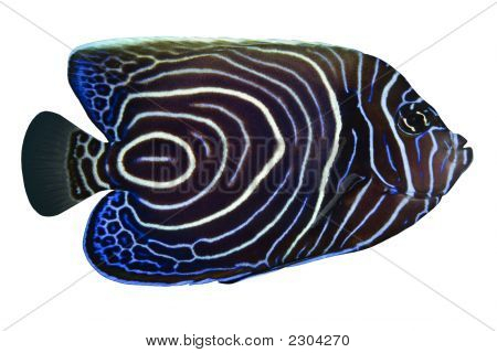 Tropical Fish Pomacanthus Rhomboides Isolated On White