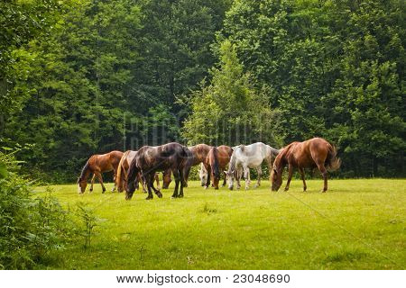 herd of horses eat in forest clearing