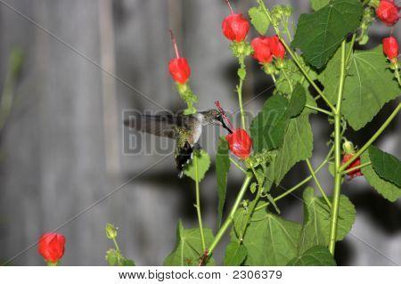 Hummingbird On A Red Gaura  Flower