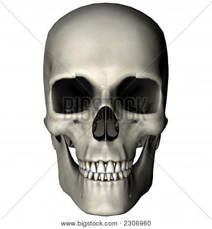 Skull_Anterior_White