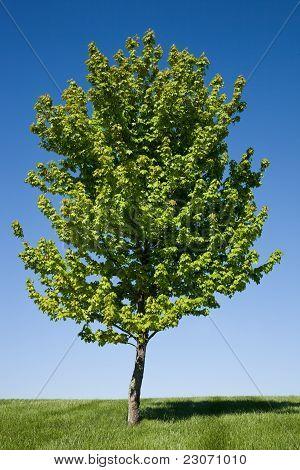 Árbol de arce solitario