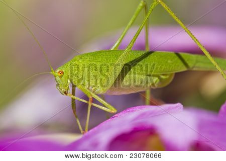 Sickle-bearing Bush-cricket (phaneroptera Falcata)