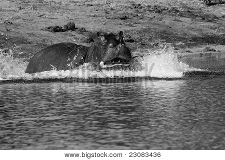 Hippo on the charge