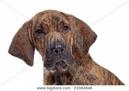 Brazilian Mastiff Or Fila Brasileiro