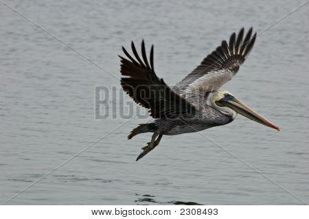 Spread Pelican