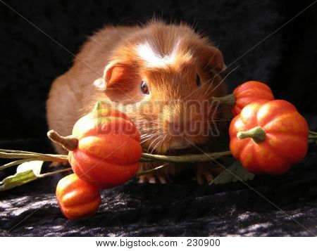 Guinea Pig In Pumpkin Patch