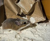 A Wild Brown House Mouse, Mus Musculus, Covered In Flour Standing In Front Of A Crumpled Paper Bag.  poster