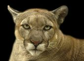 stock photo of cougar  - cougar portrait staring with intimidation at the viewer - JPG