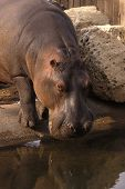 Animal Wildlife Hippo poster