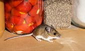 A Wild Brown House Mouse, Mus Musculus, In Front Of Jars Of Food In A Kitchen Cabinet. Side View Of  poster