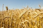 Wheat Crops Towards The Sun Agriculture, Industry poster