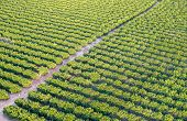 The Aerial Or Bird View On Orchard Of Orange Trees. Sunset Time poster