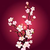 image of cherry blossom  - Blossoming tree - JPG