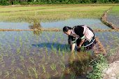 foto of hmong  - Hmong works on rice paddy traditional national costume in Laos - JPG
