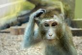 monkey scratching his head, the animal began to think. poster