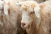 Goatling. The Domestic Goat (capra Aegagrus Hircus). The Domestic Goat  Is A Subspecies Of Goat Dome poster