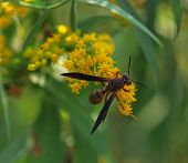 stock photo of goldenrod  - A wasp on goldenrod flowers in early September - JPG