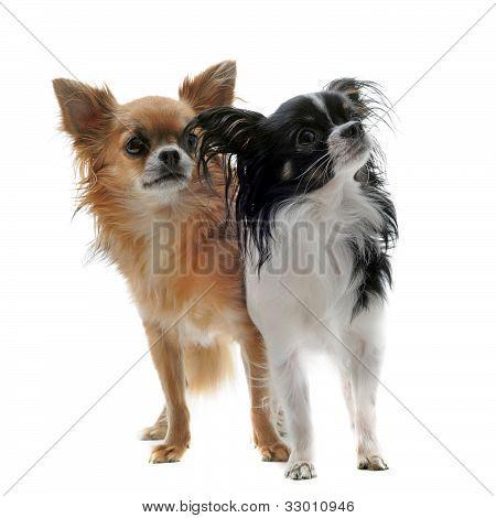 Zwei Chihuahuas