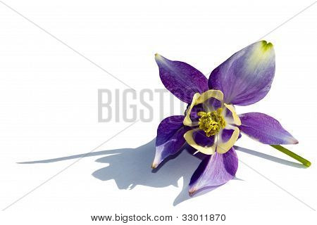 Columbine isolated on white with clipping path