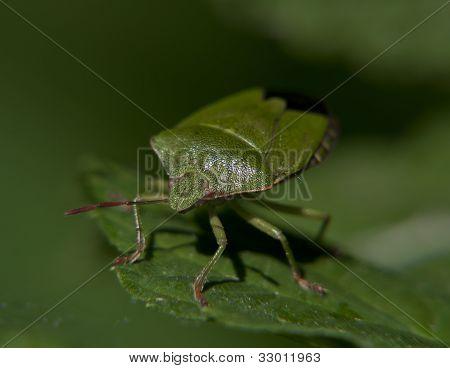 green bug on a green leaf