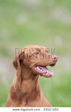 Vizsla Dog (hungarian Pointer) In A Green Field