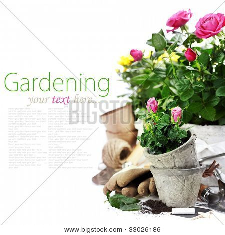Beautiful pink and yellow roses in a flowerpots and garden tools  isolated on white (with easy removable text)