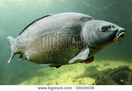Underwater Photo Big Carp (Cyprinus Carpio) Trophy fish in The Hracholusky lake, Czech Republic, Europe.