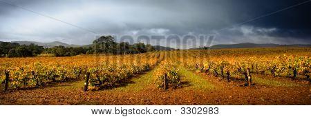 Stormy Vineyard