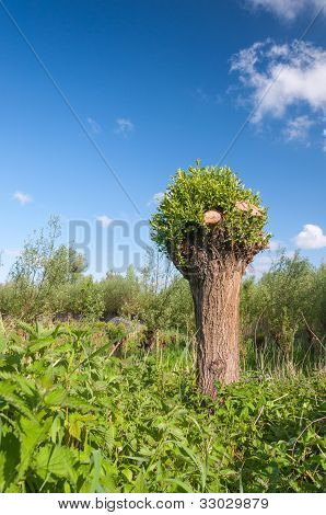 Knotted Willow In A Dutch Nature Reserve