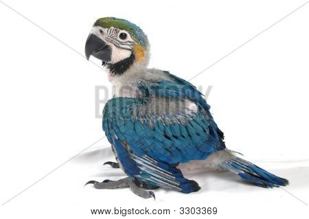 Young Baby Macaw