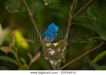 Macho preto-nuca monarca