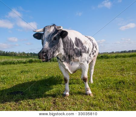 Staring Gray Spotted Cow