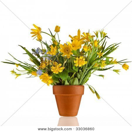 Bouquet  Blossom Flowers of Lesser Celandine and Yellow Llily in terracotta clay flowerpot  isolated on white