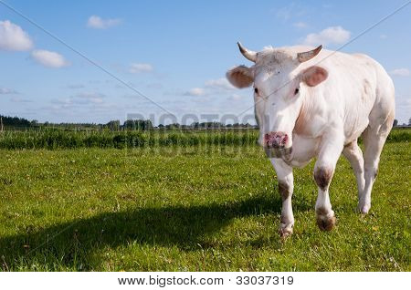 Staring White Cow With Horns