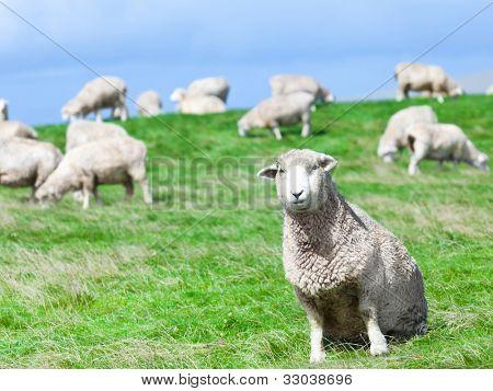 eine Schafherde auf der Wiese