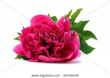 beautiful pink peony isolated on white