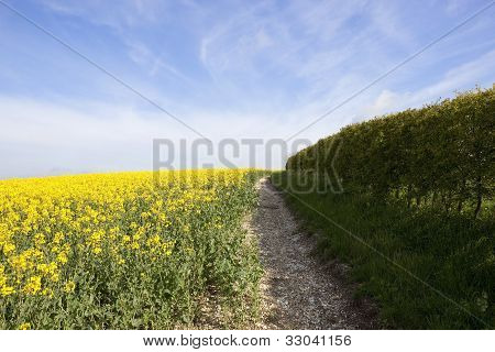 Canola Field With Hedgerow
