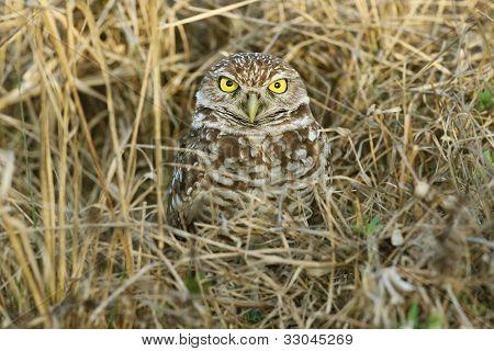 Burrowing Owl Hiding in Grass