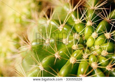 Vivid Green Grusonii Cactus Closeup Shot