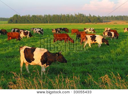 Pastureland With Cows