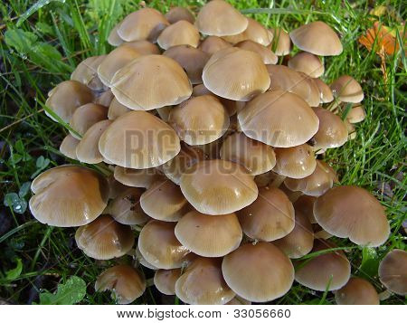 Mycena inclinata mushrooms