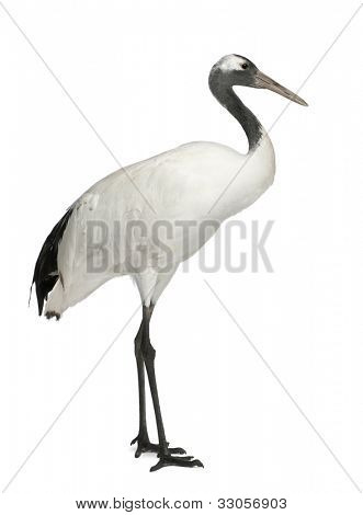 Young Red-crowned Crane, Grus japonensis, also called the Japanese Crane or Manchurian Crane, standing in front of white background