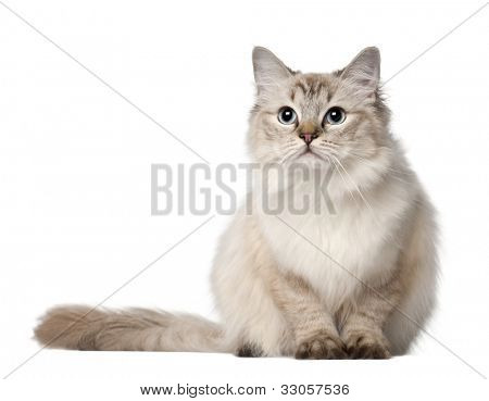 Ragdoll cat, 10 months old, sitting in front of white background